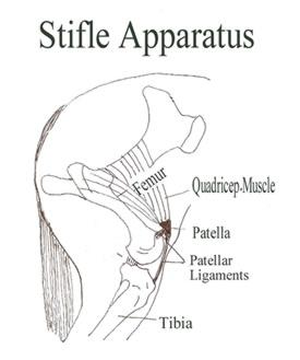 Horse anatomy stifle